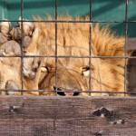 male-lion-behind-cage